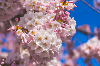 baby-pink-cherry-blossoms-and-buds-lit-by-spring-sunshine.png